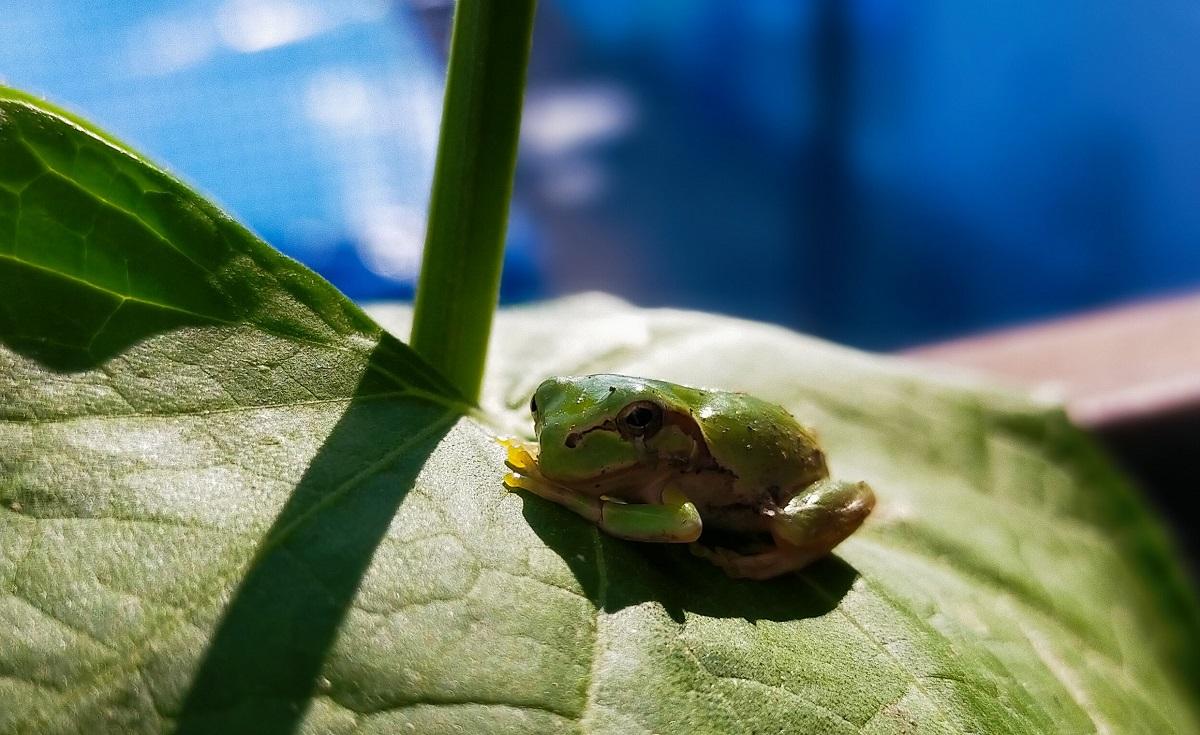 ヘチマの葉にたたずむチビアマガエル
