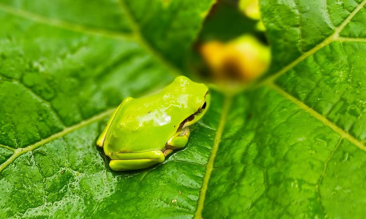 カボチャの葉にたたずむアマガエル