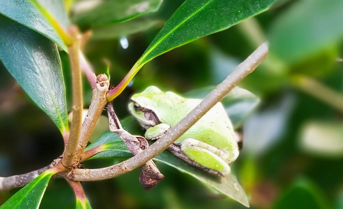 木の葉にたたずむ大人のアマガエル