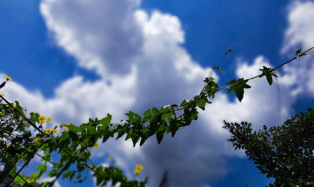 ヘチマの蔓と夏の雲
