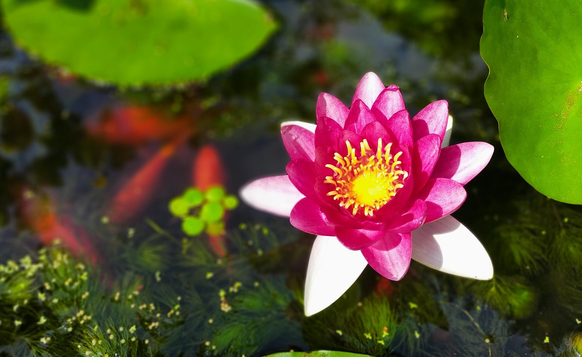 池の睡蓮と金魚