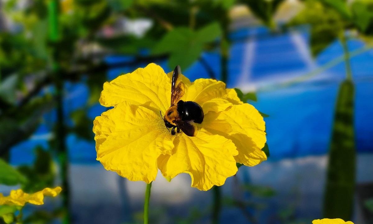 ヘチマの花の蜜を集めるクマバチ