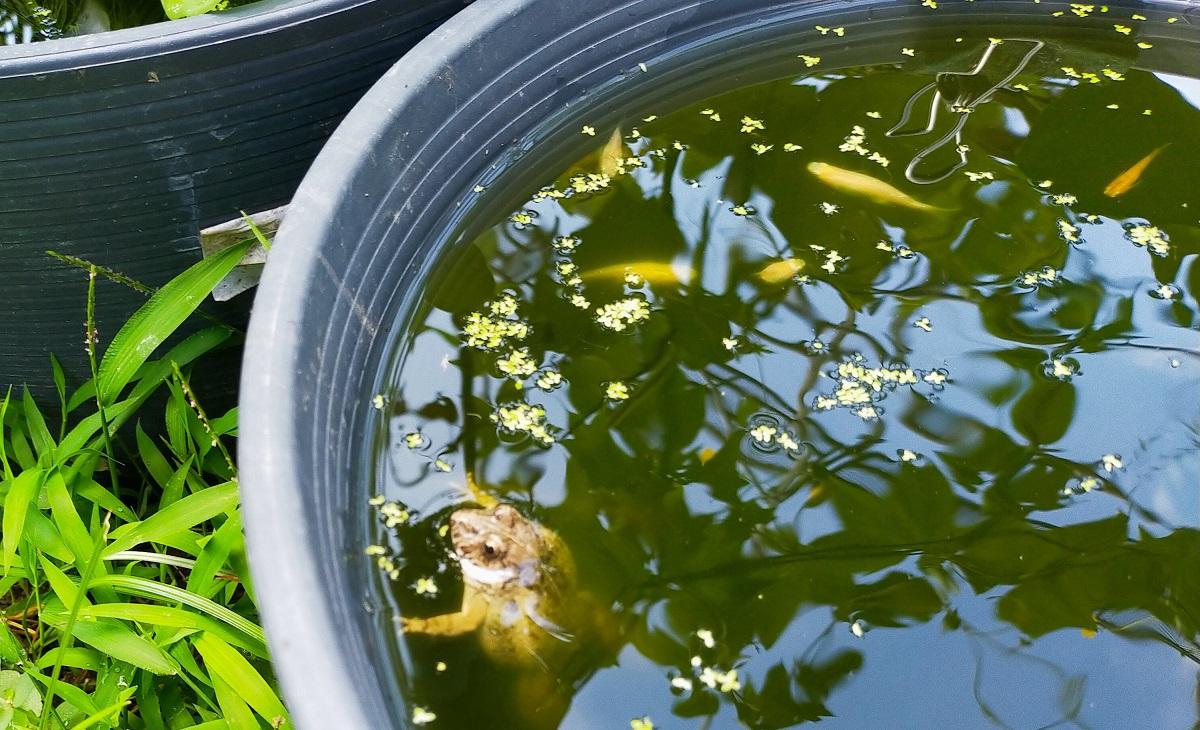 睡蓮鉢から出れずに溺れそうなヌマガエル