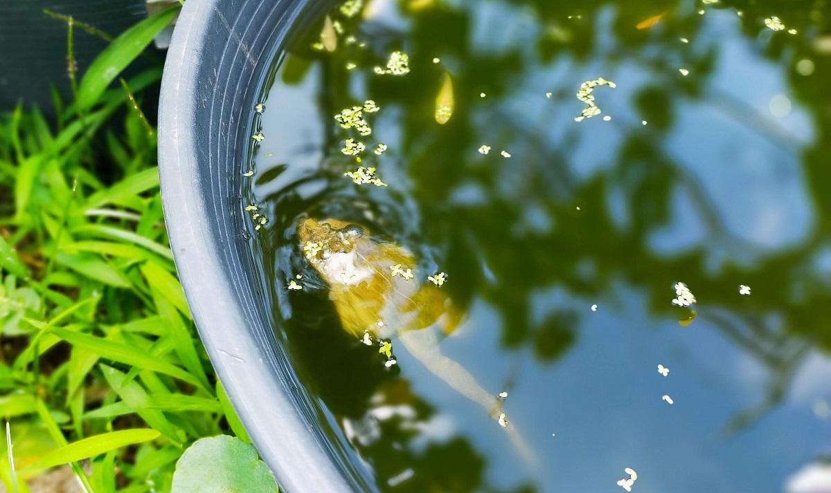 睡蓮鉢で暴れるヌマガエル