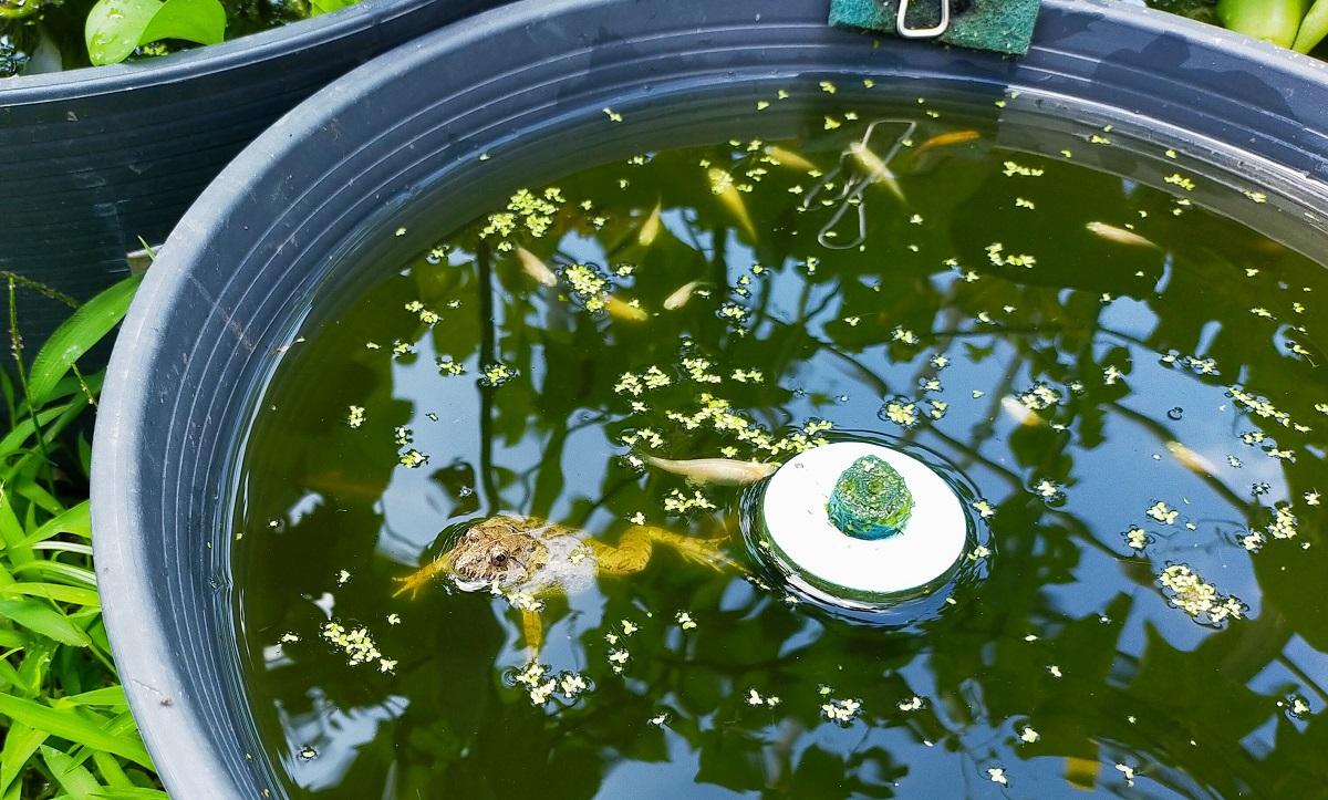 睡蓮鉢に乱入したヌマガエル