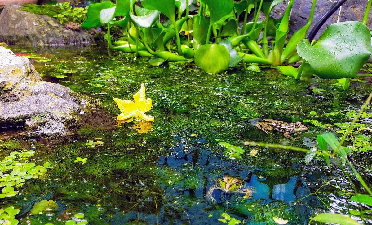 池に落ちたヘチマの花とカエル