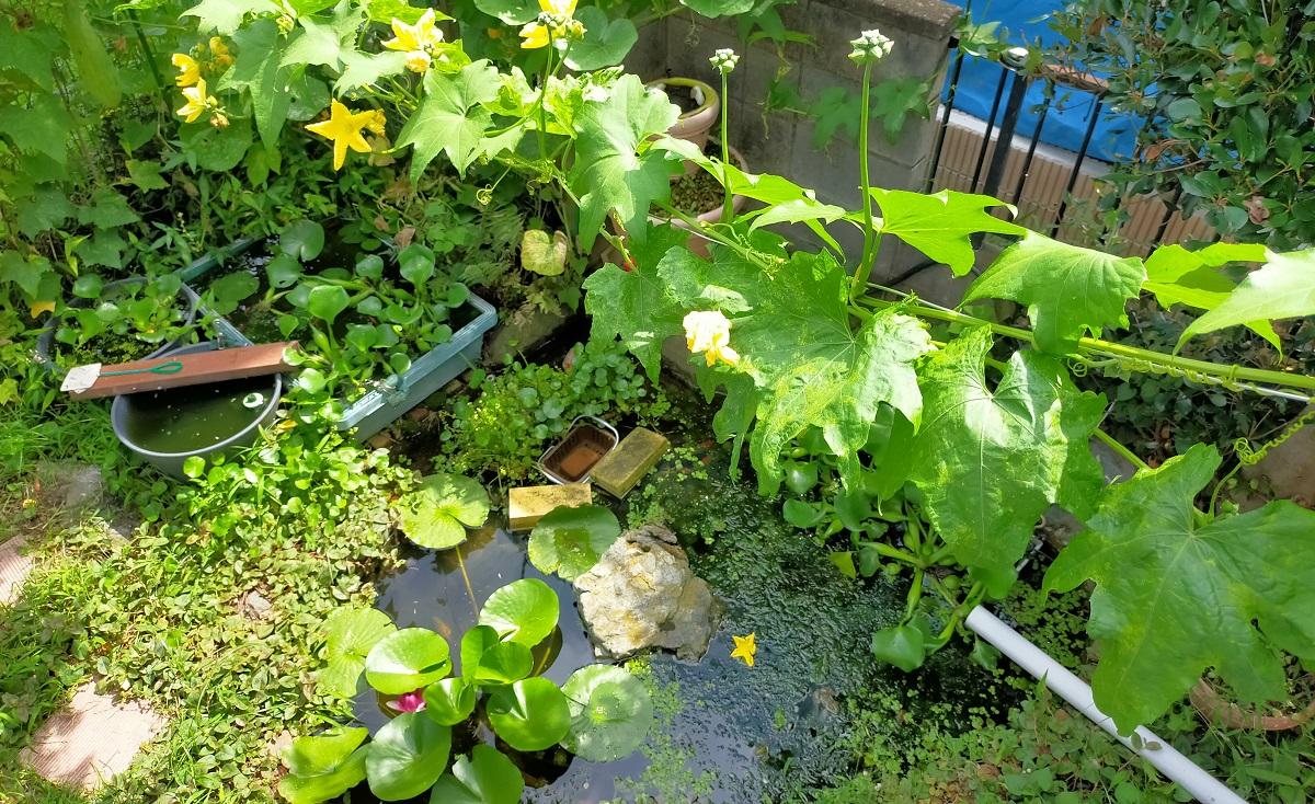 池の上に這わせたヘチマ