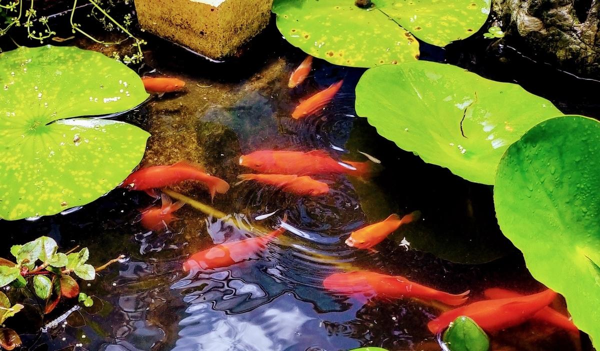 池で金魚とメダカが混泳