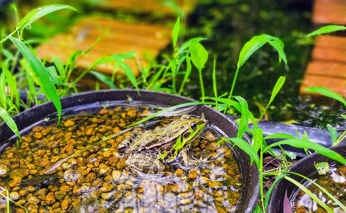 保護色なトウキョウダルマガエル