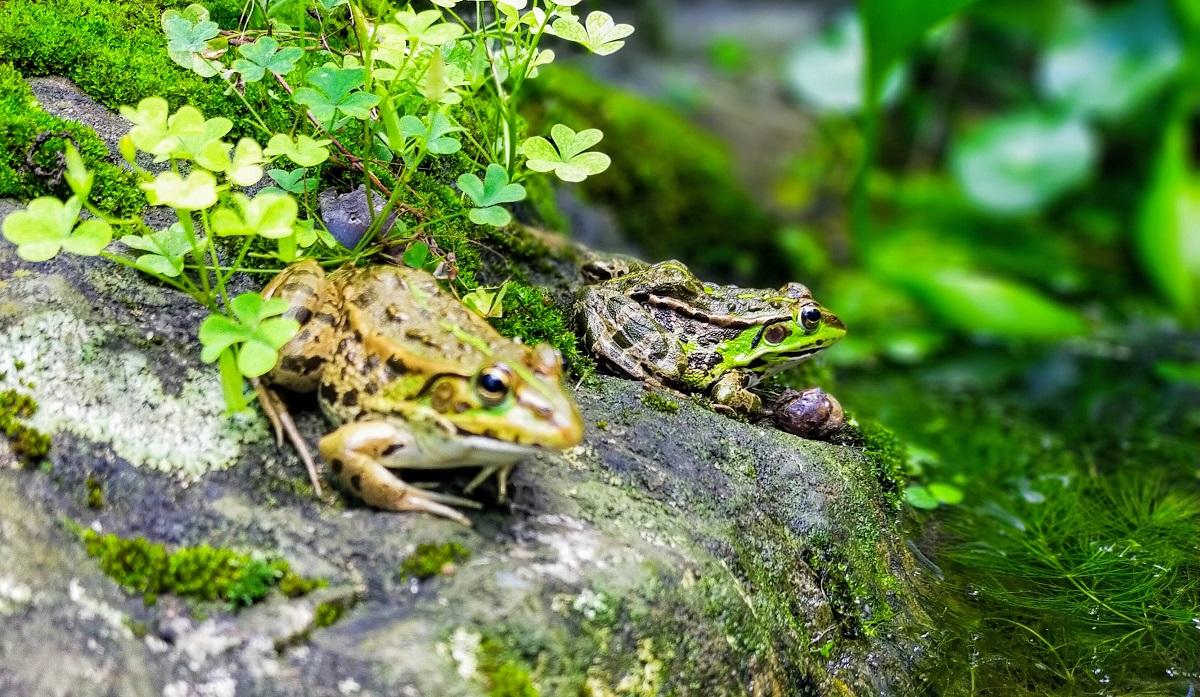 池の端に、2匹のトウキョウダルマガエル