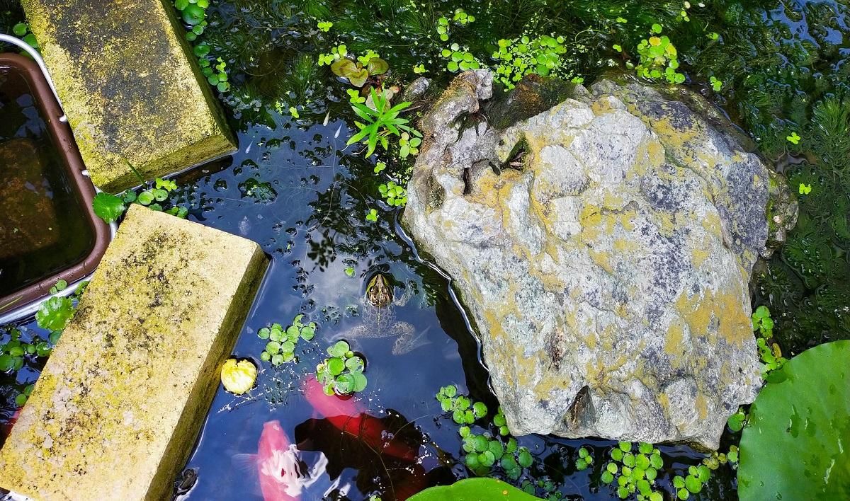 池の島、カエルと金魚と白メダカとヒメツルソバ
