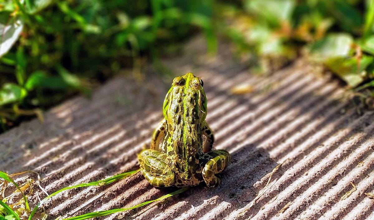 敷石に座るトウキョウダルマガエル