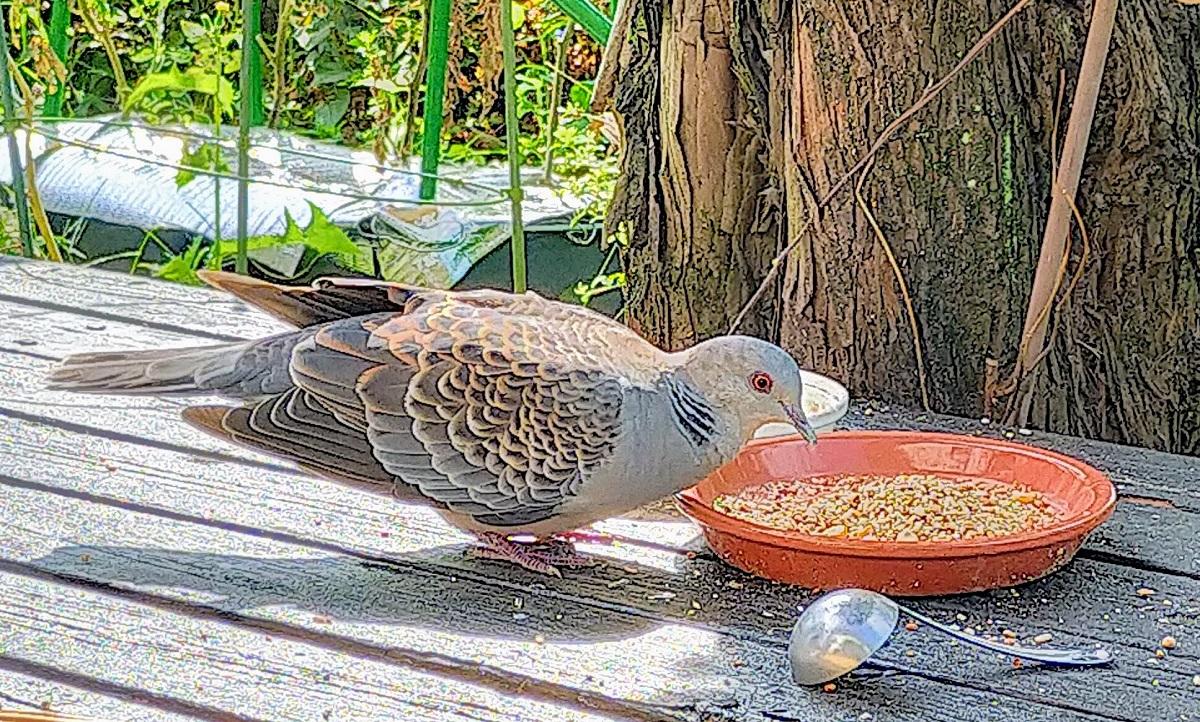 米を食べるキジバトのモジちゃん
