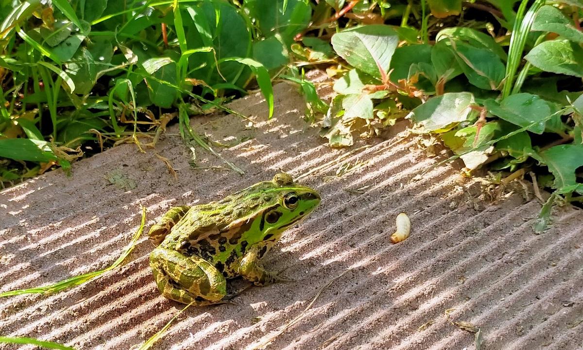 トウキョウダルマガエルの前にブドウ虫