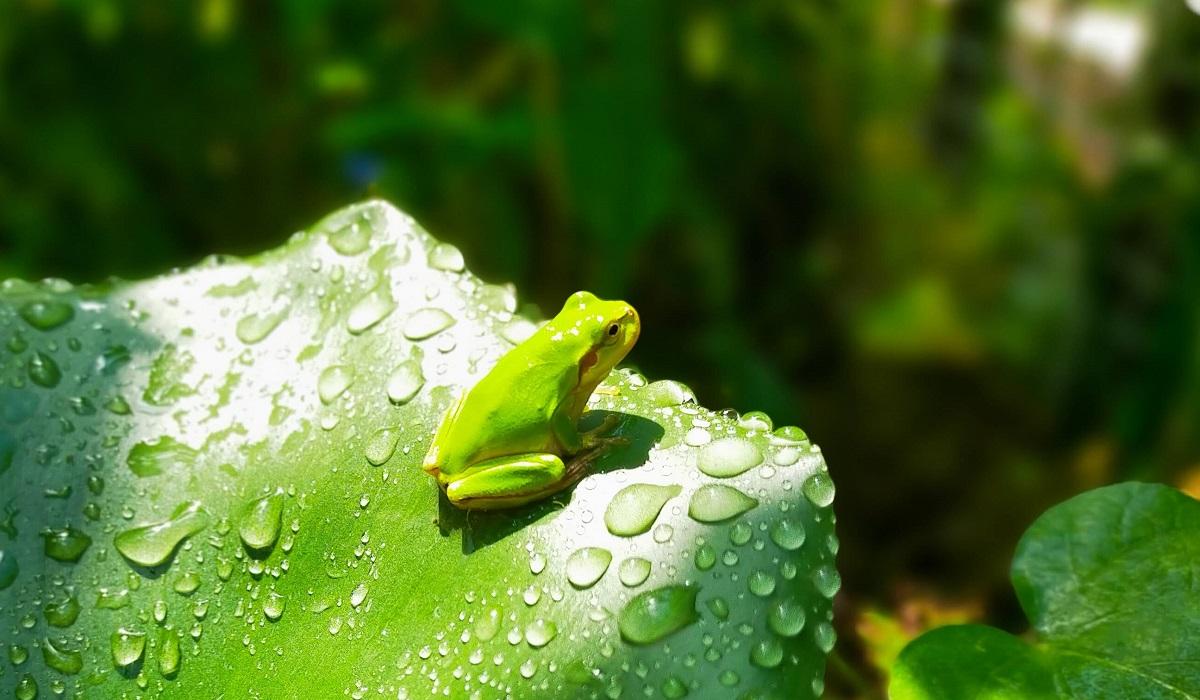 ホテイアオイの葉に乗るアマガエル