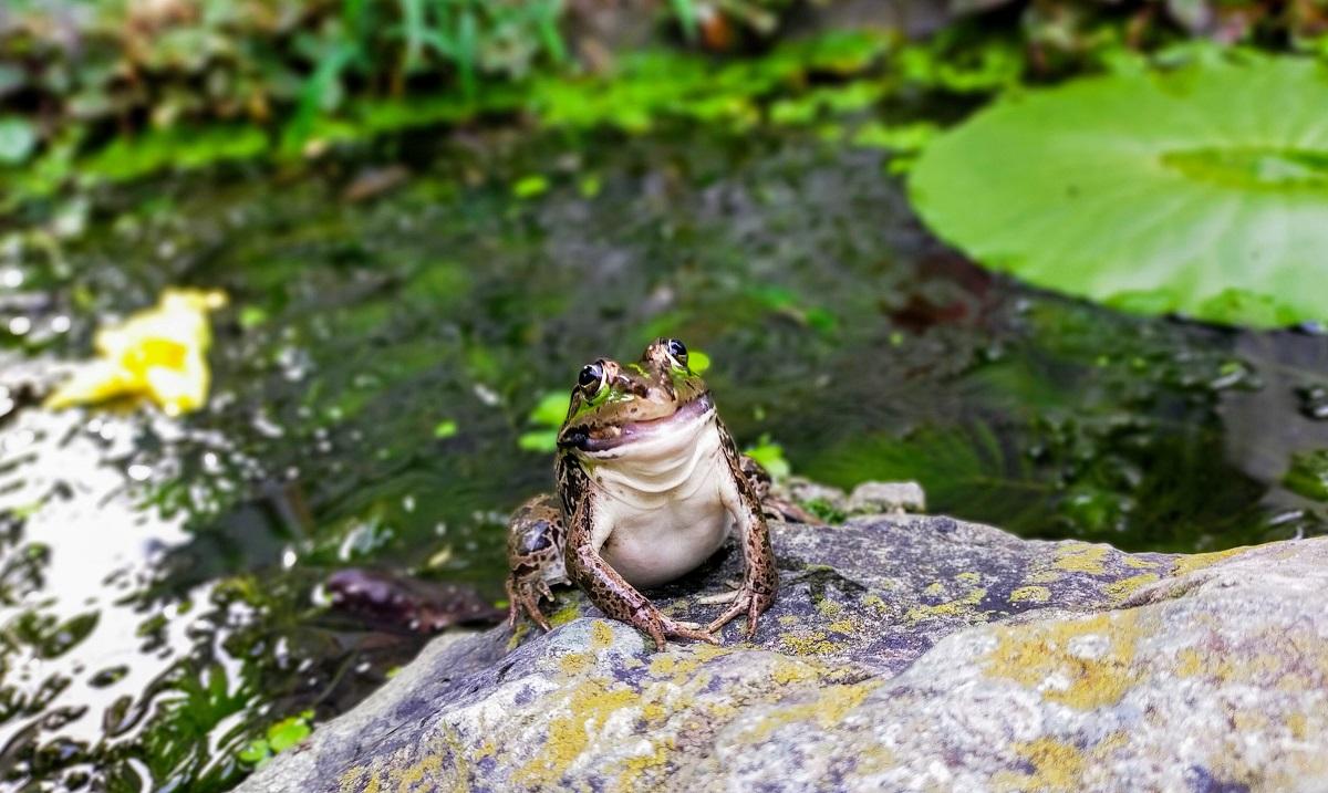 自作池のトウキョウダルマガエル