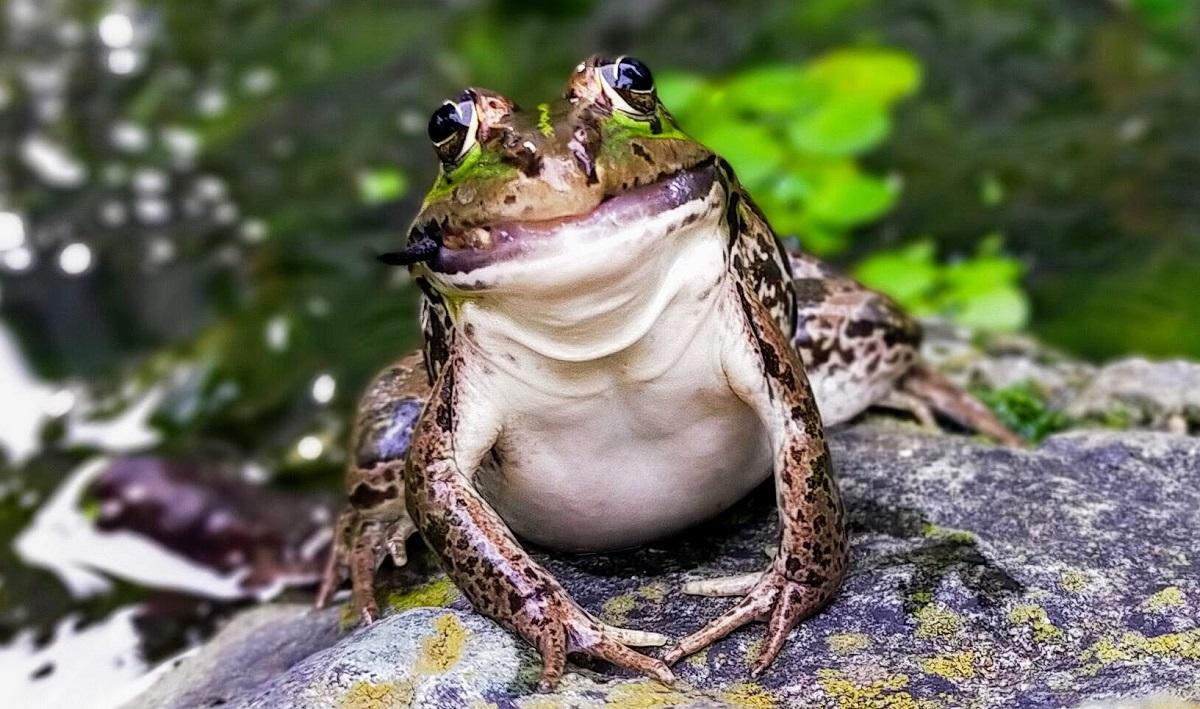 大きいコオロギを食べ口が閉まらないトウキョウダルマガエル