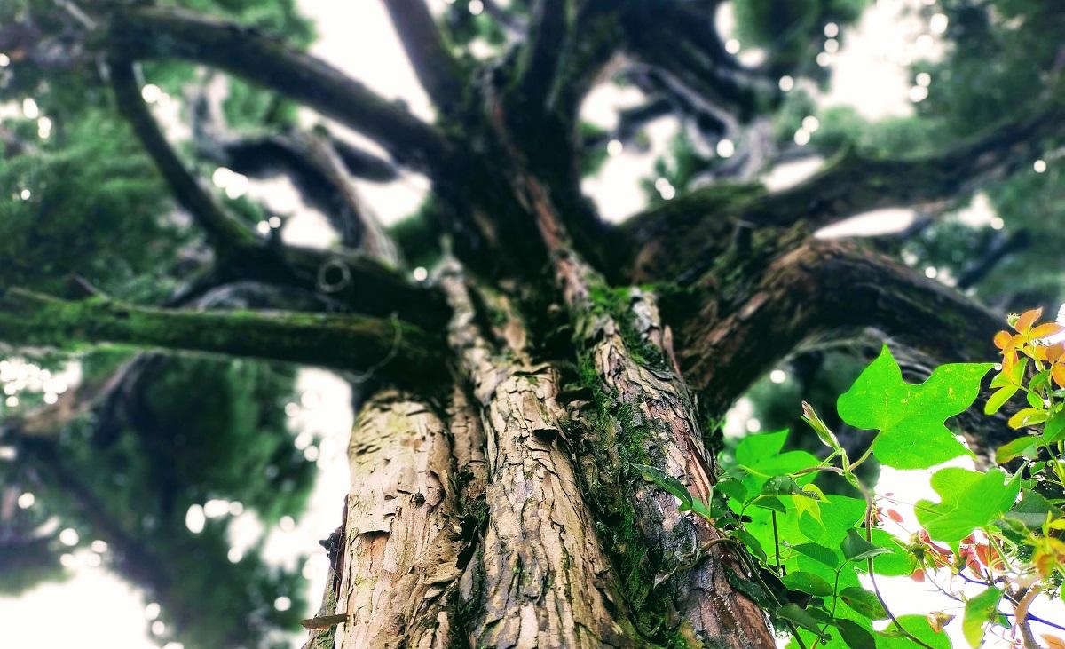 屋久杉風に見える、雨の日のカイヅカイブキ