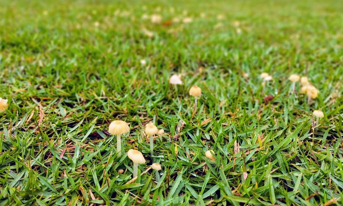雨の芝生に生えるキノコ