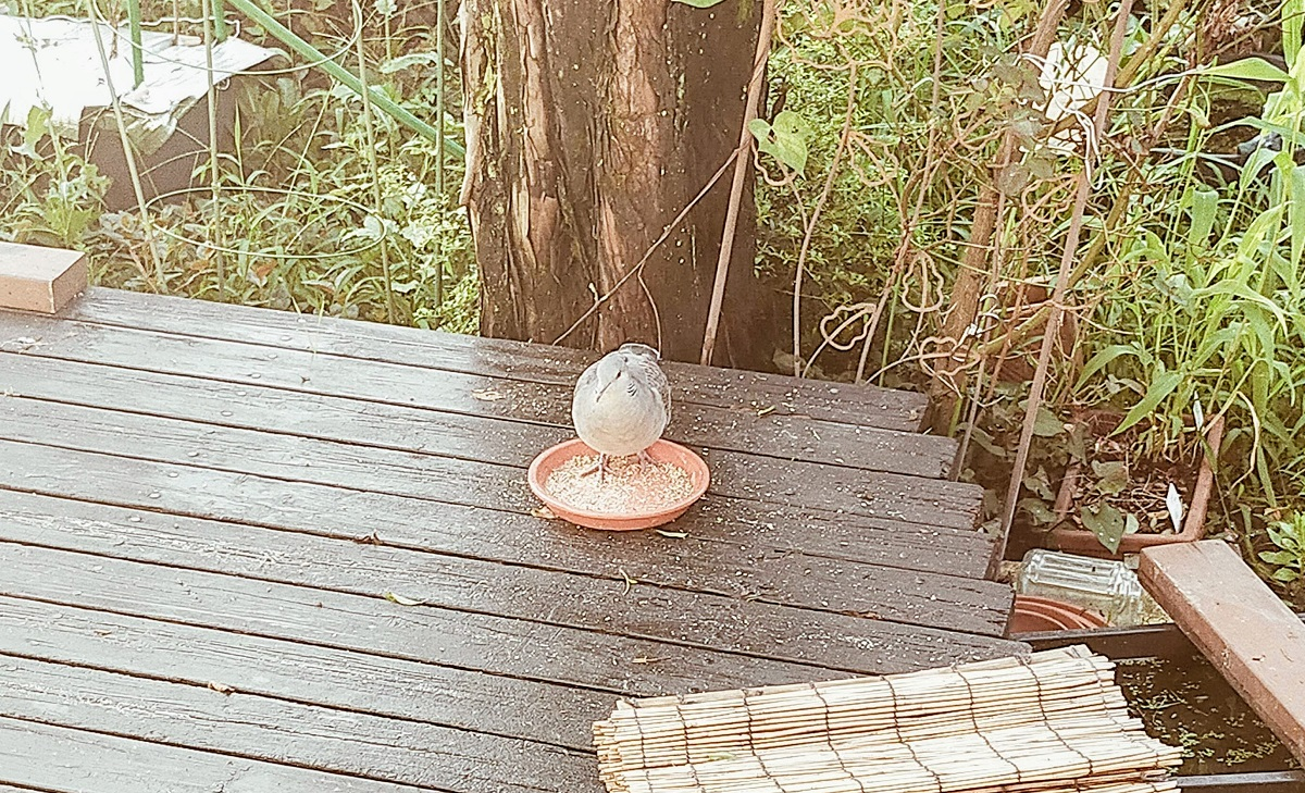 餌皿に乗って待っていたキジバトのモジちゃん