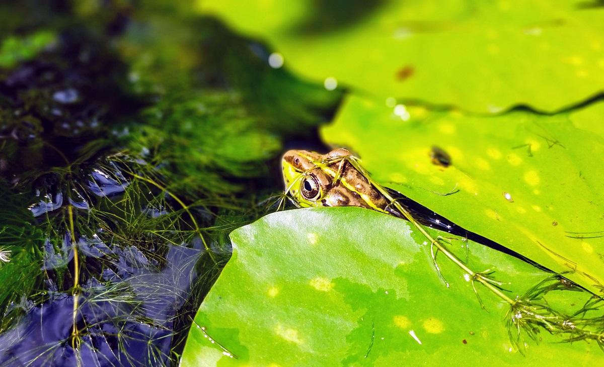 マツモと睡蓮の葉にはさまるトウキョウダルマガエル