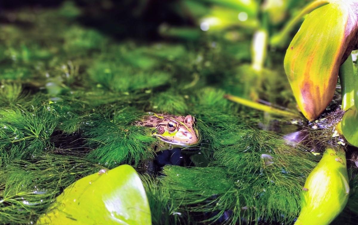 マツモに乗るトウキョウダルマガエル