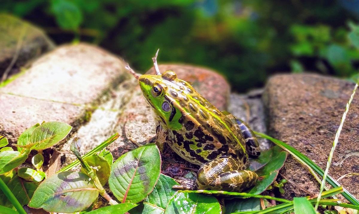 ヌマガエルを食べるトウキョウダルマガエル