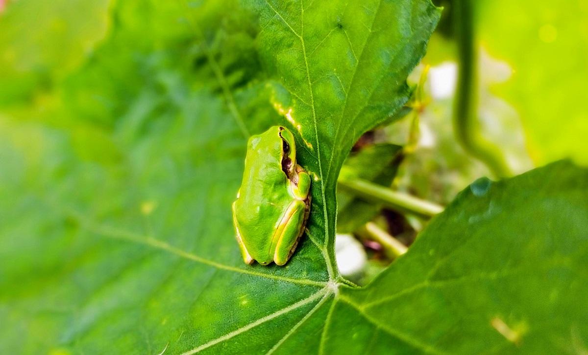 ヘチマの葉にアマガエル
