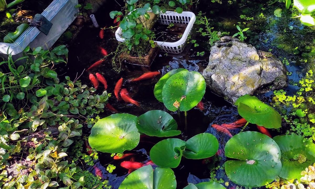 池の金魚(和金)達