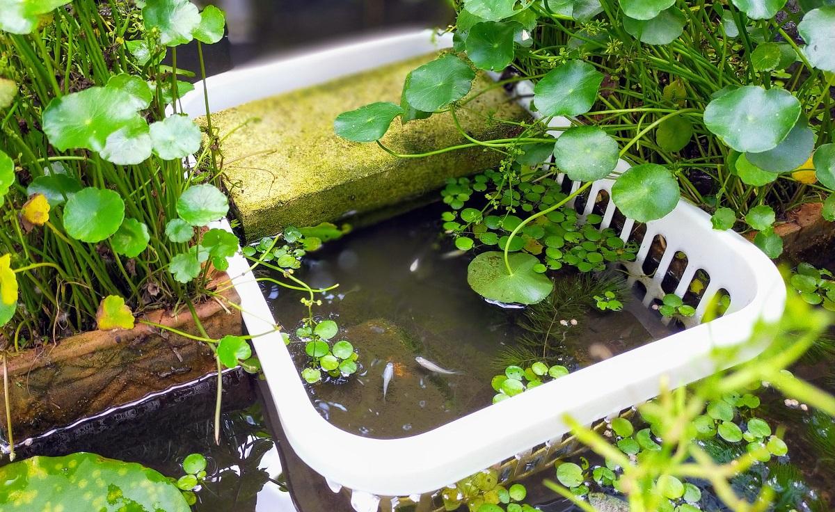 池のメダカ専用エリア