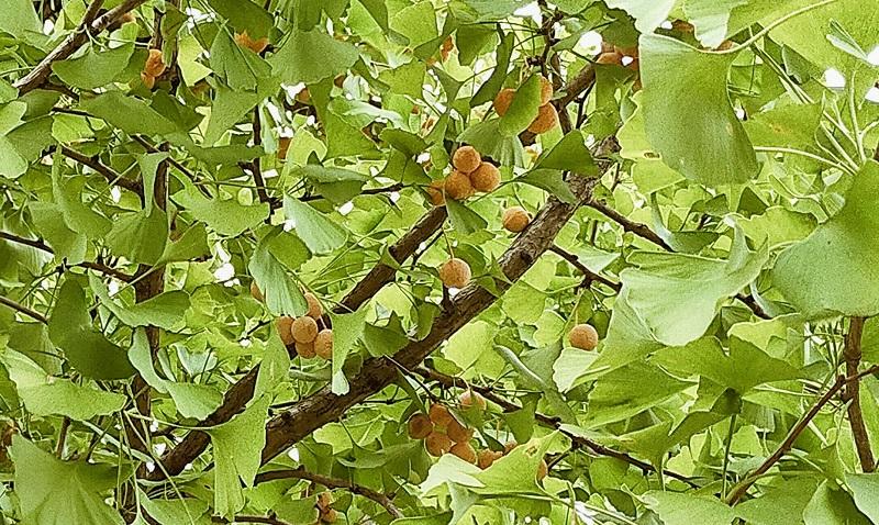 イチョウの木にギンナン