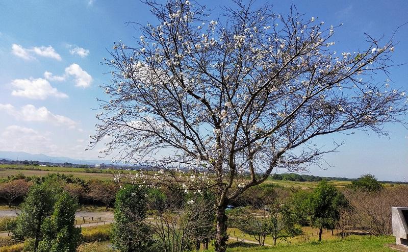 寒桜(秋冬咲きの桜)