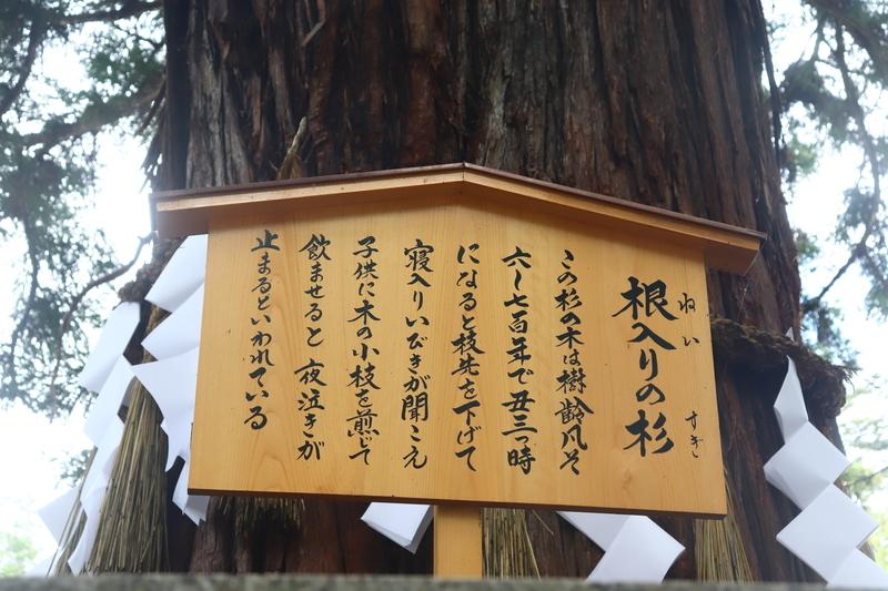諏訪神社根入りの杉