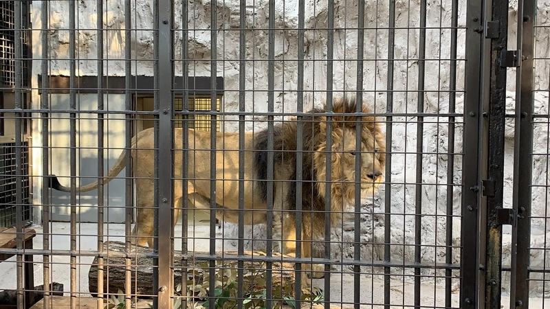 ライオン オス 野毛山動物園