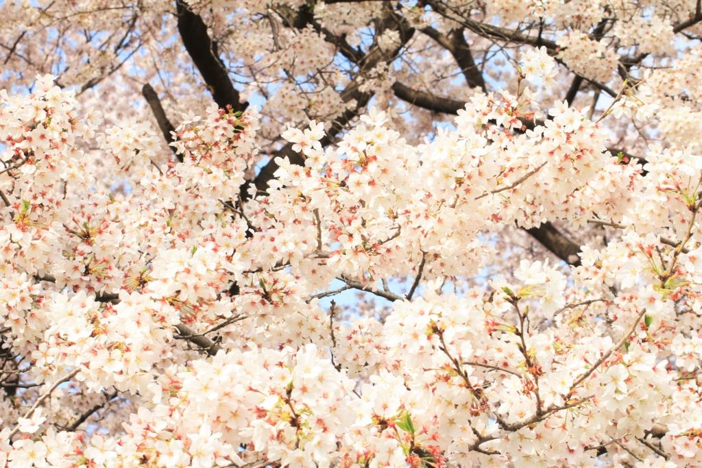 一眼レフ桜