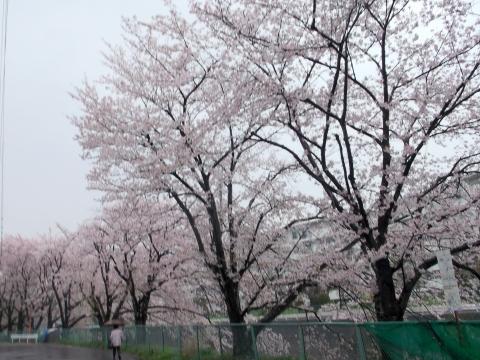 厨Sawa の前の道は桜が満開