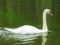 白鳥@松本城の堀