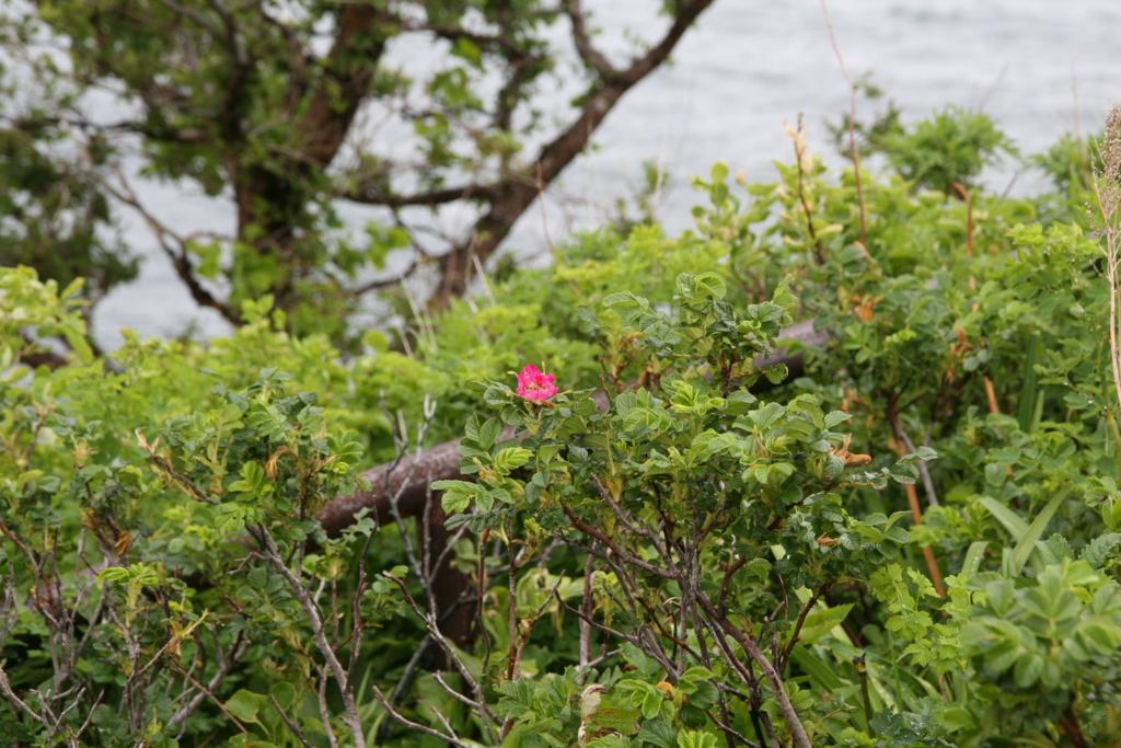 北海道・知床のオロンコ岩のハマナス