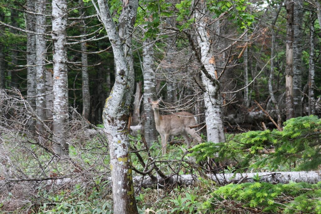 北海道・知床の原生林にいる鹿