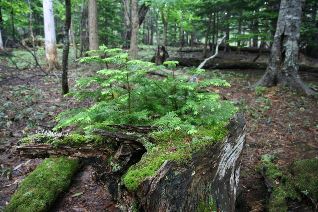北海道・知床の原生林