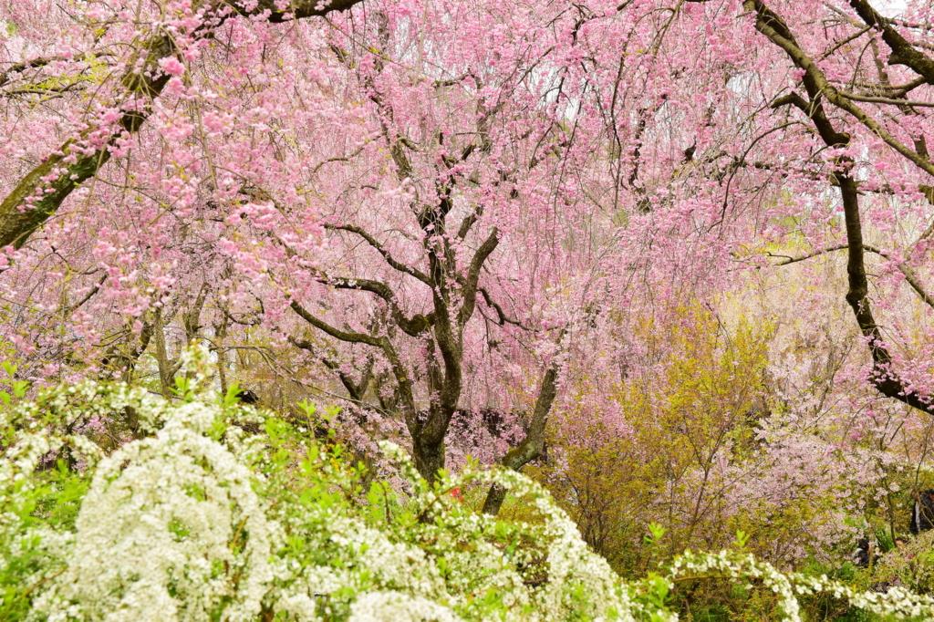 京都・原谷苑のしだれ桜