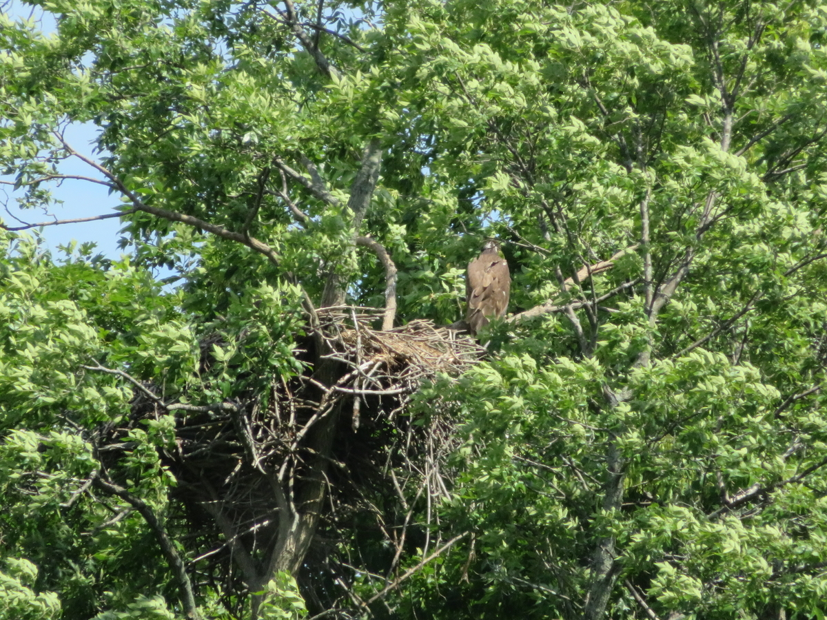 白頭鷲の巣