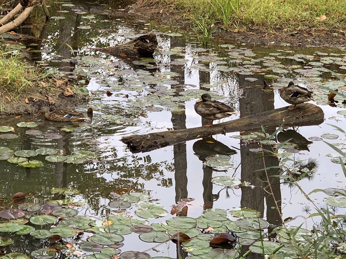 池にいるカモ