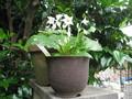 山野草タバコの花