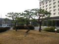 慶州コモドチェースンHOTEL前のロータリーの松