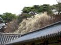 お寺の屋根越しに白木蓮花