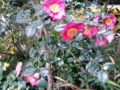 妙蓮寺赤花