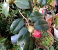 妙蓮寺の赤花蕾