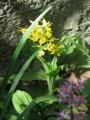黄花エビネ蘭