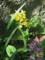 黄花エビネ